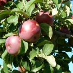 An Exaltation of Apples