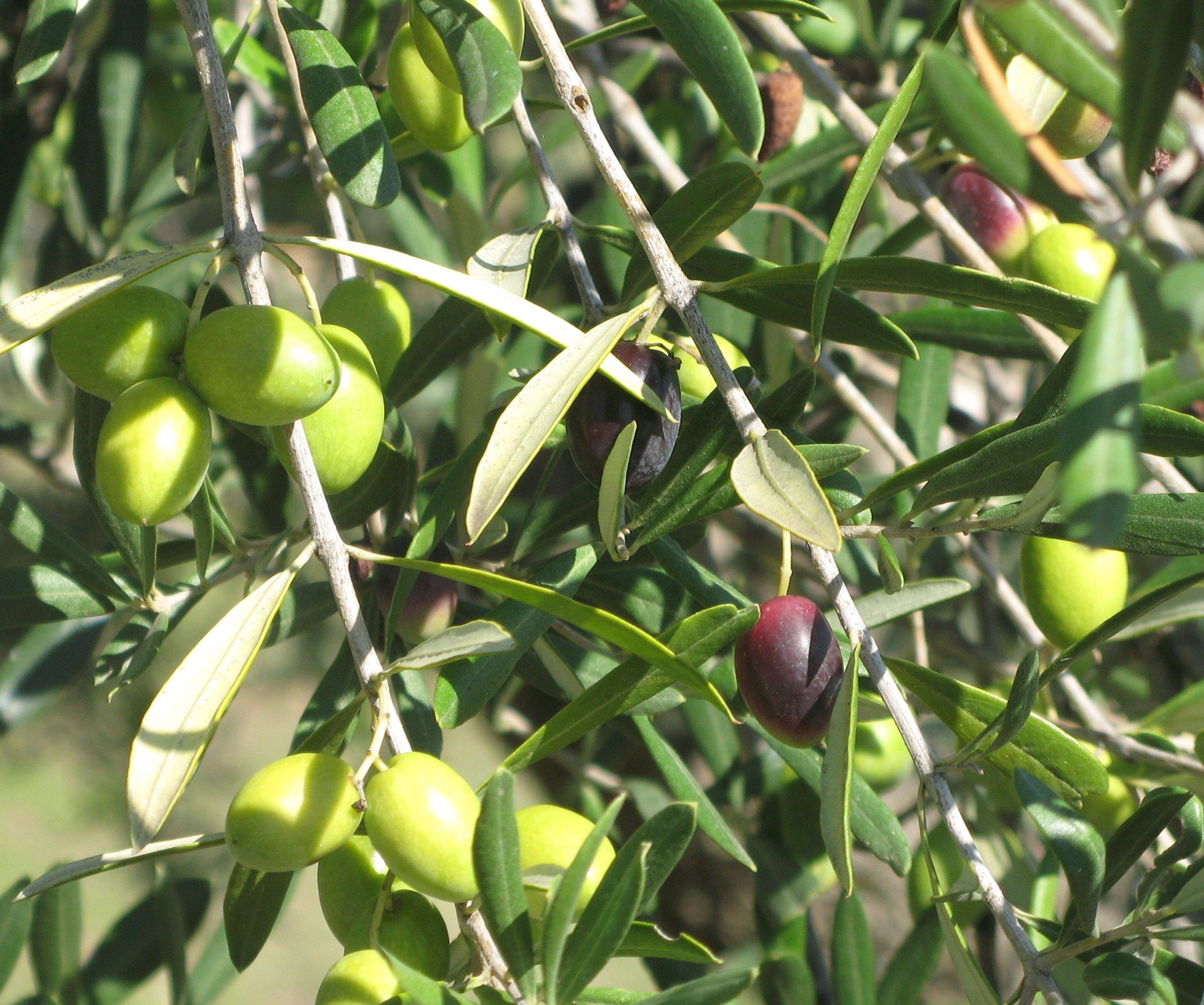 Puglia olives