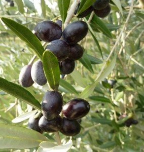 Leccino olives ready for harvest