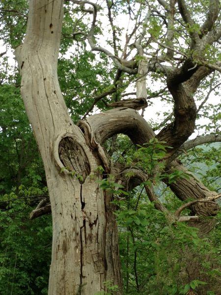 dead chestnut