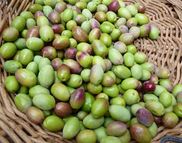 frantoio olives ready for mill
