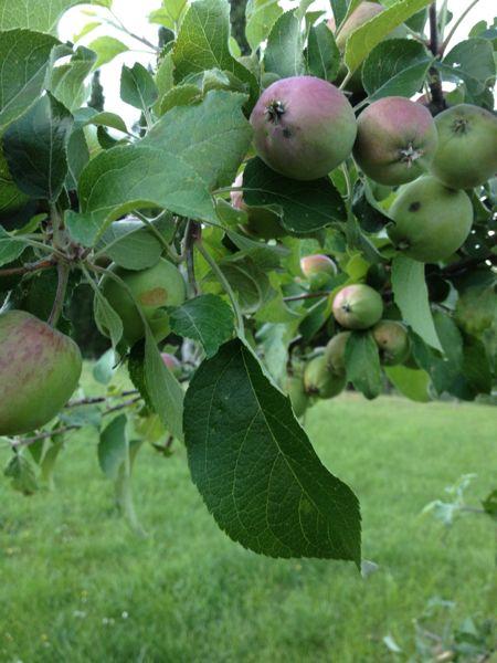 Teverina apples
