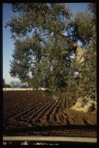 Puglia landscape w