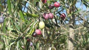 Puglia olives-coratina?