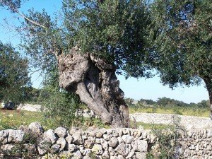 Venerable Pugliese giant olive growing out of an ancient stone wall