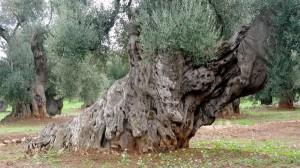 ulivo secolare, Puglia
