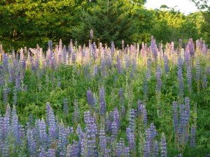 Maine lupine in blossom