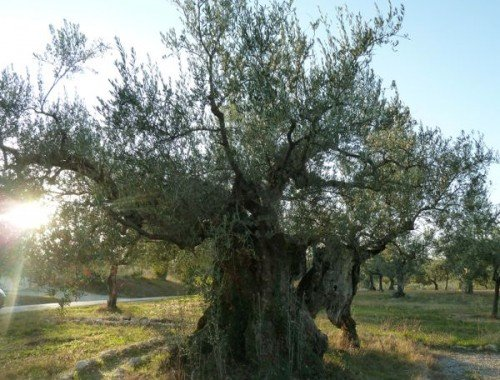 oldest olive in Umbria