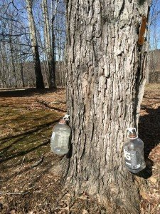 Tapping sugar maples